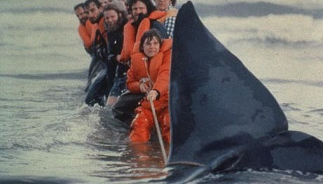 Attempted rescue of a beached grey whale.